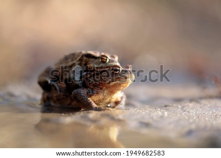 Common toads in their way to the pond