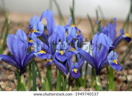 Iris flowers blue colored in full bloom