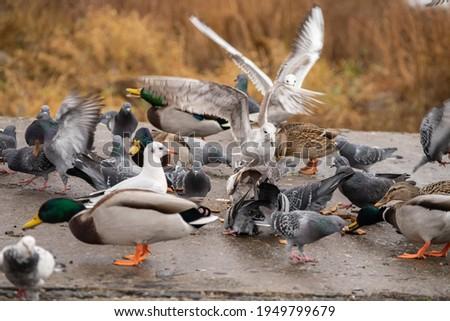 Birds fighting over food: pigeons, seagulls, ducks. Motion blur.