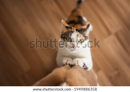 Cat sharpens its claws on scratching post. Multi-colored red-white-black cat with green eyes sharpens its claws on a brown wall scratching post top view Royalty-Free Stock Photo #1949886358