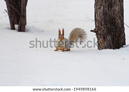 A beautiful red-and-white squirrel sits on the snow in winter. A picture with a place for the text.