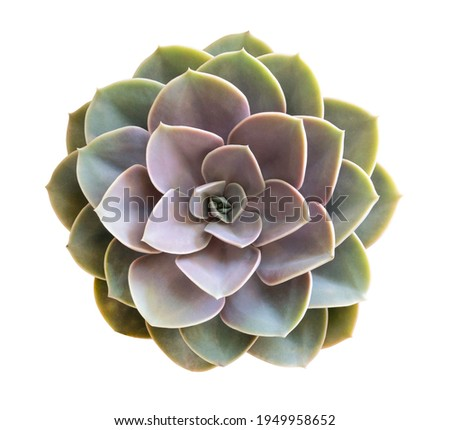 Succulent cactus flower tropical plant top view isolated on white background, clipping path included Royalty-Free Stock Photo #1949958652