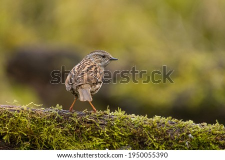 Dunnock in the woods, also known as hedge sparrow.