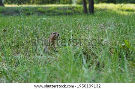 pretty gopher sits in the grass and looks