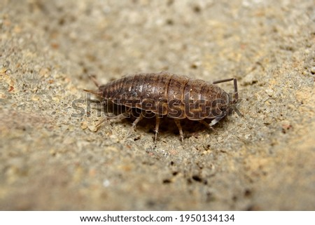Wood Louse (sp. Isopoda) also known as a Slater