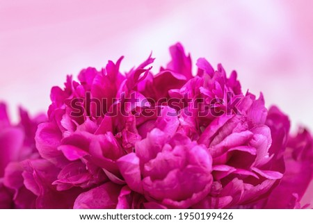 Beautiful flowery background from red purple petals of peony. Tender spring flower close up. Natural environment design wallpaper or screensaver.