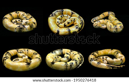 Mixed action of paradox morph Ball python on black floor background.