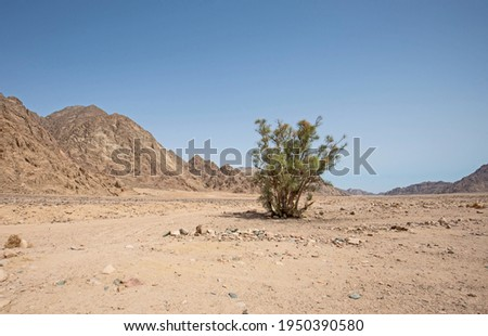 Landscape scenic view of desolate barren eastern desert in Egypt with lone tree and mountains Royalty-Free Stock Photo #1950390580