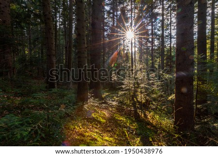 Natural mountain coniferous fir (European silver fir) forest of the Carpathians. Mountain coniferous forest for wallpaper. Beautiful Sunset in a dense coniferous forest Royalty-Free Stock Photo #1950438976