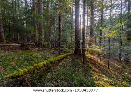 Natural mountain coniferous fir (European silver fir) forest of the Carpathians. Mountain coniferous forest for wallpaper. Beautiful Sunset in a dense coniferous forest Royalty-Free Stock Photo #1950438979