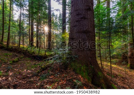 Natural mountain coniferous fir (European silver fir) forest of the Carpathians. Mountain coniferous forest for wallpaper. Beautiful Sunset in a dense coniferous forest Royalty-Free Stock Photo #1950438982