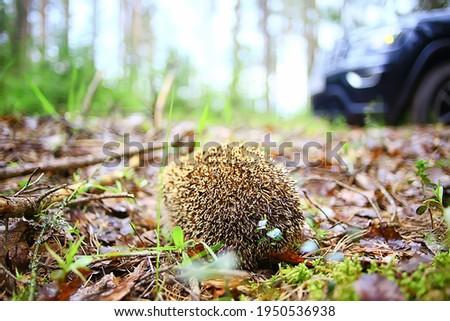 animal wild in nature hedgehog in the forest, european hedgehog runs