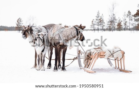 Group of reindeer with wooden sleds in the snow in Siberian taiga. Holiday Day of the reindeer northern peoples Khanty and Mansi Royalty-Free Stock Photo #1950580951