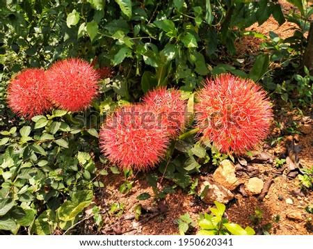 Scadoxus Multiflorus-High Res Stock Images of Kerala