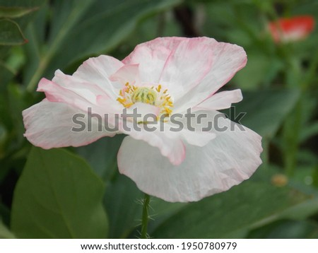 white with pale pink poppy flower close up