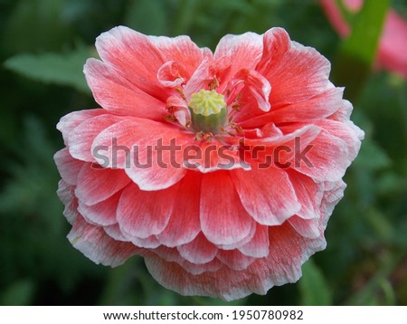 Red with white poppy flower close up