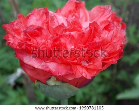 Red full poppy flower close up