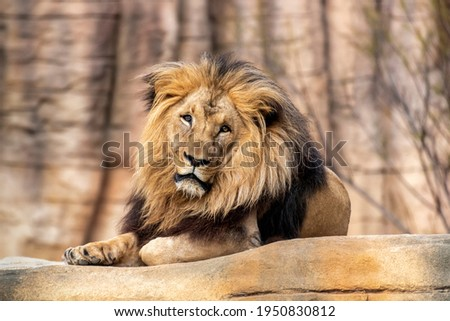 Lion ((Panthera leo) lying on a rock in the new facilities of the Barcelona zoo