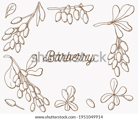 Linear set of barberry berries. White background, isolate. Vector illustration. Barberry inscription. Line art. Royalty-Free Stock Photo #1951049914
