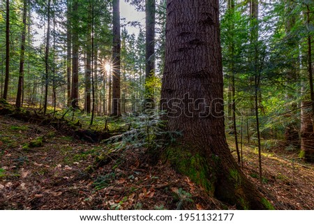 Natural mountain coniferous fir (European silver fir) forest of the Carpathians. Mountain coniferous forest for wallpaper. Beautiful Sunset in a dense coniferous forest Royalty-Free Stock Photo #1951132177
