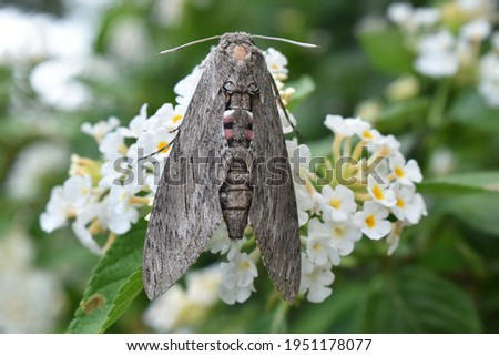 Picture of a Sphingidae, a family of moths called sphinx moths, also colloquially known as hawk moths.  It is best represented in the tropics, but species are found in every region.