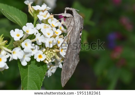 Picture of Sphinx moth also known as hawk moth, They are moderate to large in size and are distinguished among moths for their agile and sustained flying ability.