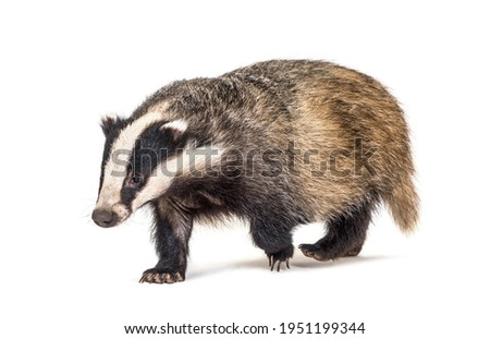 European badger walking towards the camera, six months old, isolated Royalty-Free Stock Photo #1951199344
