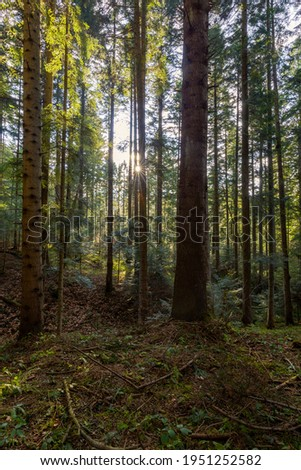 Natural mountain coniferous fir (European silver fir) forest of the Carpathians. Mountain coniferous forest for wallpaper. Beautiful Sunset in a dense coniferous forest Royalty-Free Stock Photo #1951252582