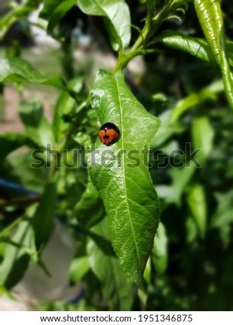 Natural Ladybugs Pictures Closeup Green leaf Background
