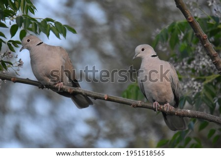 This is the beautiful picture of the pair of dove birds when both dove are sitting together on the branch of the tree !