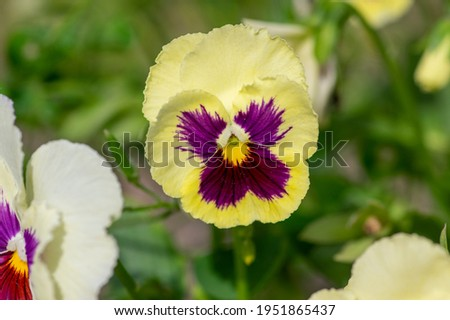 Viola wittrockiana colorful garden pansy flowers in bloom, beautiful small flowering plant, yellow purple color, green leaves
