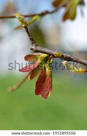 Silver maple branch with juvenile fruit - Latin name - Acer saccharinum Royalty-Free Stock Photo #1951899106