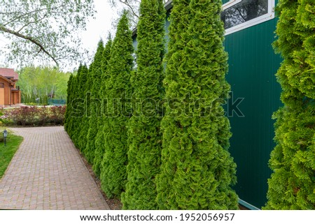Row of tall evergreen thuja occidentalis trees green hedge fence along path at countryside cottage backyard. Landscaping design, topiary and maintenace Royalty-Free Stock Photo #1952056957