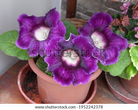 Color of the begonia plant in nature Royalty-Free Stock Photo #1952242378