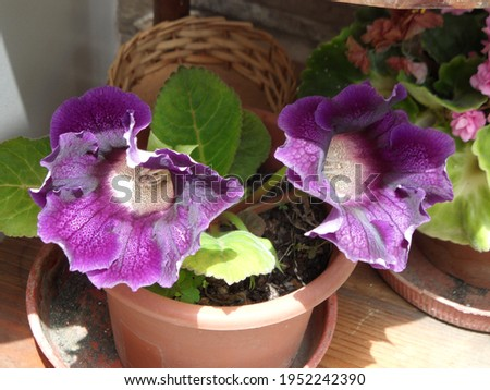 Color of the begonia plant in nature Royalty-Free Stock Photo #1952242390