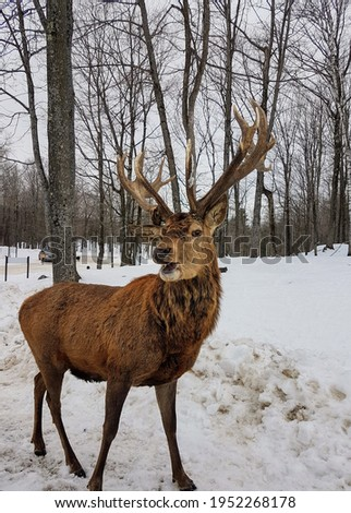 Beautiful picture of a deer looking at the camera with magnificent antlers.