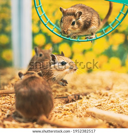 Meriones Unguiculatus, The Mongolian Jird Or Mongolian Gerbil Is A Rodent Belonging To Subfamily Gerbillinae. Popular Small Pets Mongolian Gerbil Gerbillinae Jird Mouse Mouses