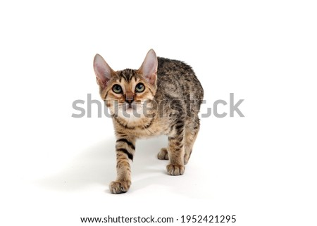 A purebred smooth-haired cat stands on a white background Royalty-Free Stock Photo #1952421295