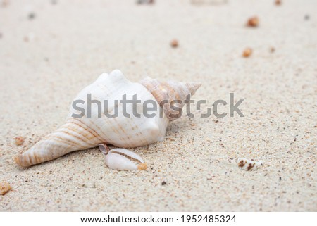 White and pink seashell on the beach. Shellfish on the sand. Sea bottom close up. Small shell macro. Wild nature concept. Marine nature. Mollusk on the beach. Nature closeup. Summer vacations concept Royalty-Free Stock Photo #1952485324