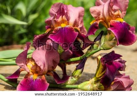 Spring. Kasatik, Cockerel.  Iris flower floral photography in the park. iris blooms. Closeup of Iris. Light iris flower in the garden.