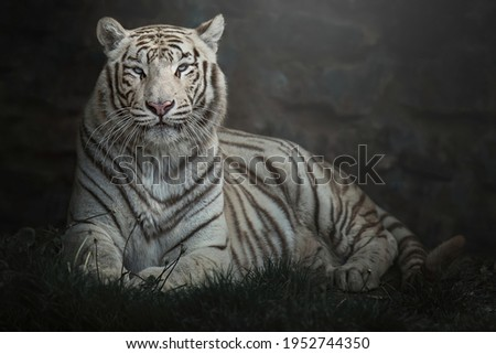 White tiger (Panthera tigris tigris) lying down with blue eyes and his portrait Royalty-Free Stock Photo #1952744350