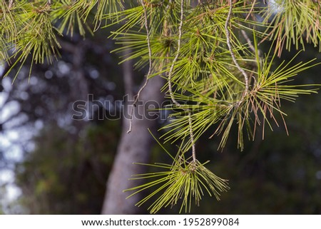 Detail of pine leaves against a green and blue background on a sunny day Royalty-Free Stock Photo #1952899084