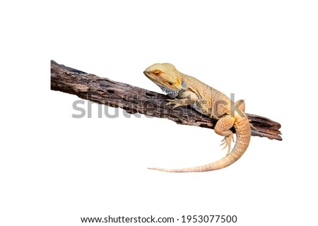 Close up Iguana (also known as Common or American iguana) On the branches isolated on white background.Iguana is a genus of herbivorous lizards that are native to tropical America,and the Caribbean. Royalty-Free Stock Photo #1953077500