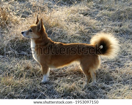 corgi dog, little orange fluffy tail dog, back light on frozen grass, profile picture