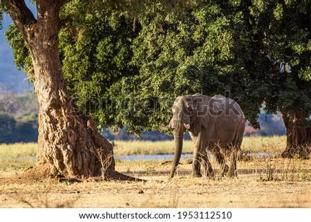 Elephants walking and feeding on the Zambesi plain in Zimbabwe Royalty-Free Stock Photo #1953112510
