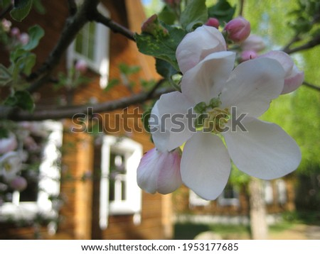 macro photo with a decorative background of white flowers of the apple tree fruit tree in the spring flowering period for landscaping and garden design as a source for prints, posters, decor, interior
