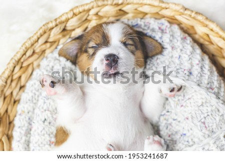 Portrait of a cute newborn jack russell terrier puppy sleeping in a basket close-up, top view. A small dog sleeps lying on its back. Breeding purebred dogs. Love and care for pets. Dog day. Pet day. Royalty-Free Stock Photo #1953241687