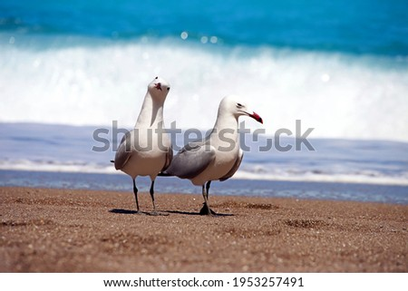 Two albatrosses on sandy beach in front of blue water and waves Royalty-Free Stock Photo #1953257491
