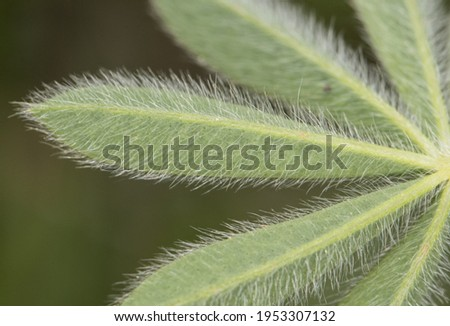 Lupinus micranthus lupine or lupine small legume with intense light blue and white flowers arranged in rods surrounded by hairy, star-shaped leaves flash lighting