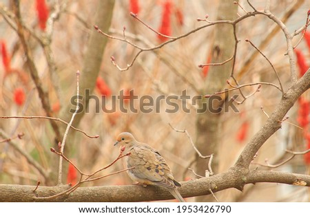 A picture of dove bird sitting on a tree branch .